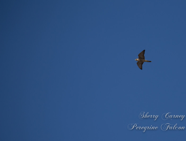 A peregrine falcom in flight
