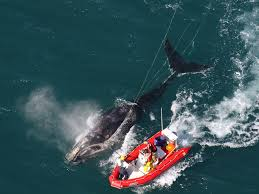 A right whale is freed from the ropes that entangle it. Photo by EcoHealth Alliance, NOAA Permit #932-1905