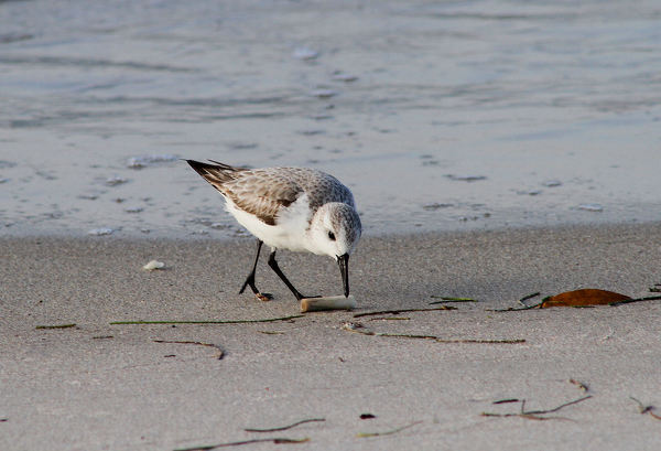 A Sanderling pecks at a cigarette butt. Photo by Ricky Wood.