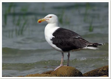 Greatbacked gull